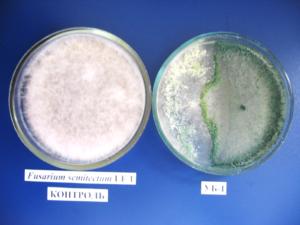 Гіперпаразітіческая активність грибів роду Trichoderma препарату Триходермін по відношенню до Pythium sp.