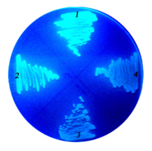 Сідерофори (флуоресцентні пігменти), що виділяються Pseudomonas aureofaciens препарату Гуабсин
