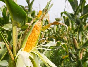 Як збільшити продуктивність силосної кукурудзи