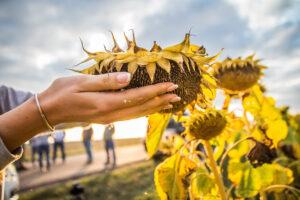 Як збільшити врожайність соняшника